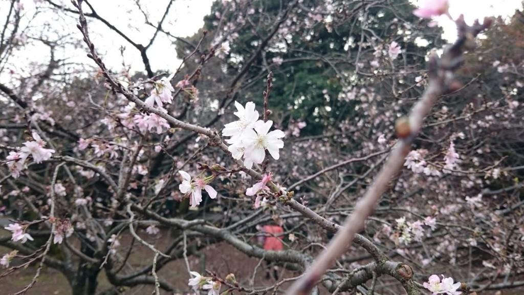 秋に桜 新宿御苑